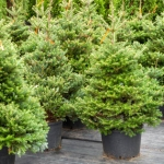 Die korrekte Pflege für einen Weihnachtsbaum im Topf