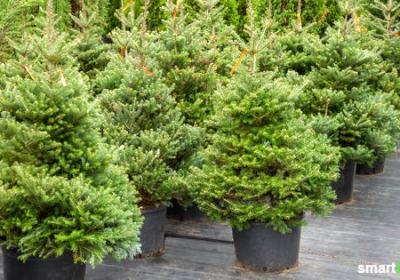die-korrekte-pflege-fuer-einen-weihnachtsbaum-im-topf